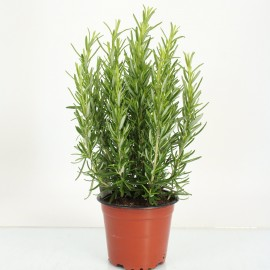РозмаринRosmarin officinalis bush (ros12bsh)