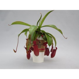 НепентесNepenthes Monkey Jars Bloody Mary ( extra water concept) (95.3) 82Nepenthesove