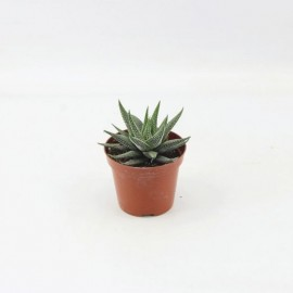 ХавортияHaworthia Concolor -125647