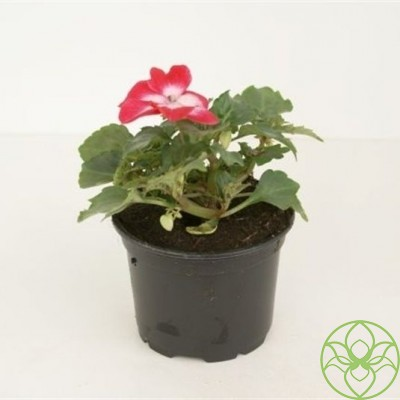 БальзаминImpatiens NG 'Petticoat Red Star' (R) Impatiens (New Guinea Grp) Co