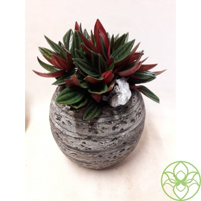 RB3ROS Горшок Шар darkgrey Peperomia Rosso (RB3ROS )