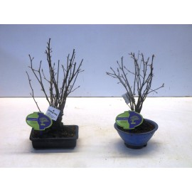 Граб японскийcarpinus (car00) 3 Carpinus japonica